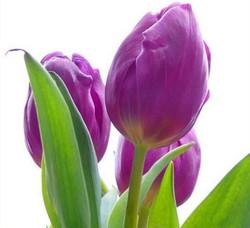 tulips purpl