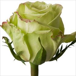 roses green