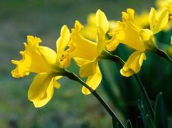 daffodils yellow