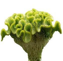cockscomb green