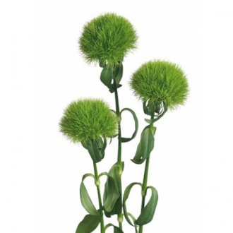 trick green dianthus