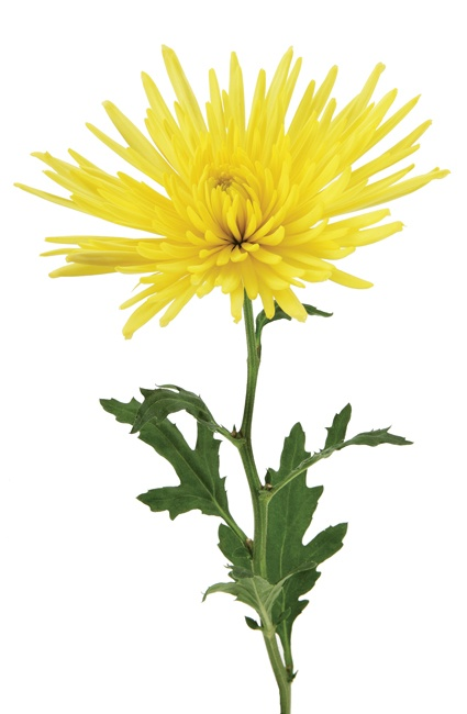 fuji mum yellow