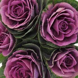 kale purple