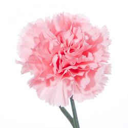 carnation pink'