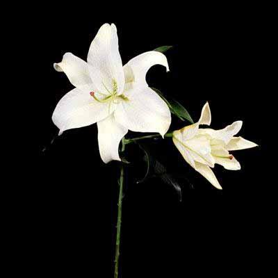 Cassablanca Lily
