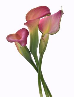 callas pink
