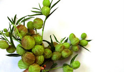 asclepia pods green