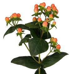 hypericum orange