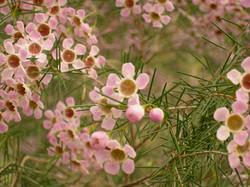 wax flower pink