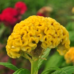 cockscomb yellow.jpg