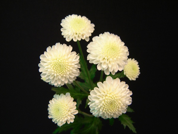 button mums