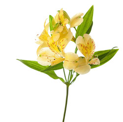 alstromeria yellow