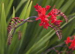 crocosmia red