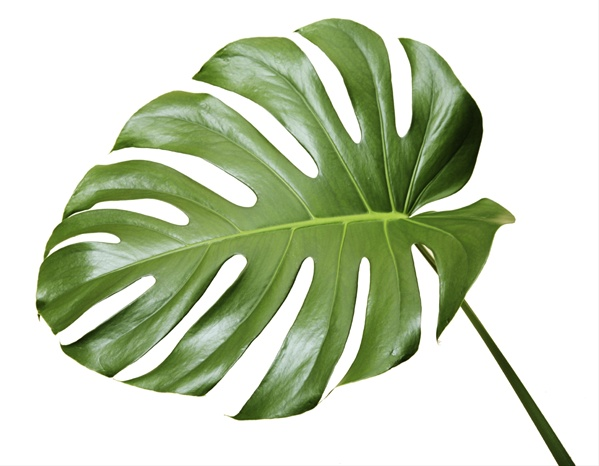 monstera leaves flower