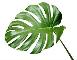 monstera leaves flower