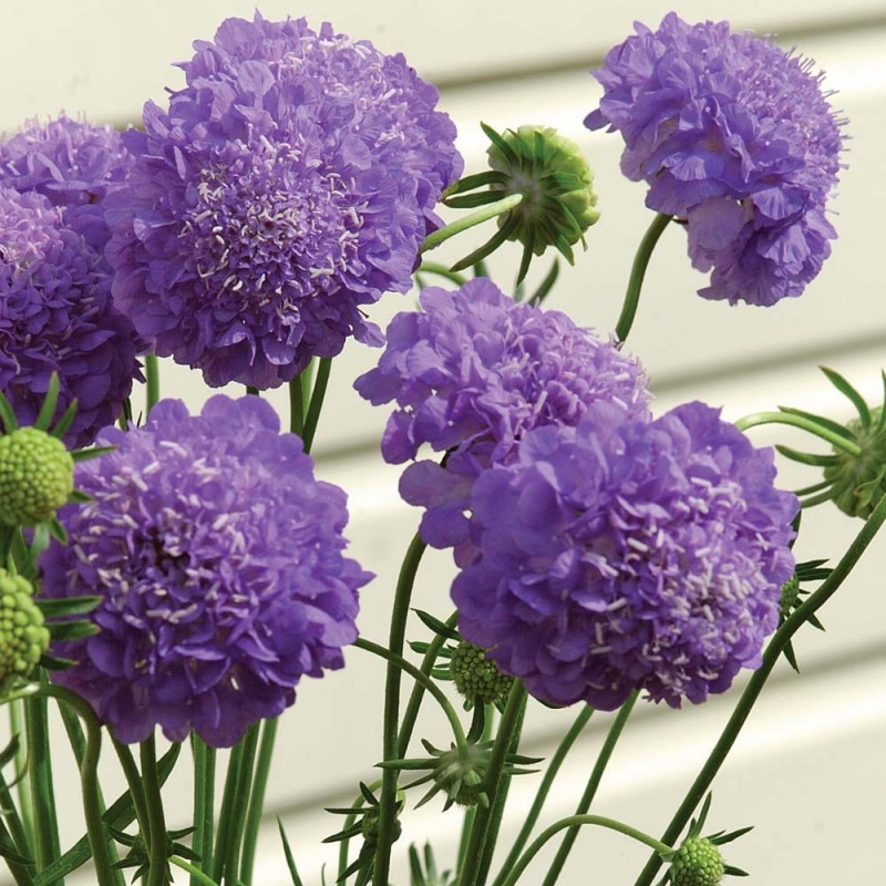 scabiosa purple