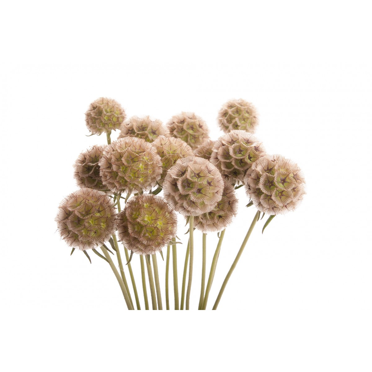 scabiosa pods brown