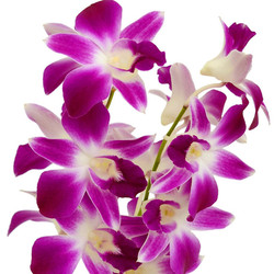 dendrobium orchid pink white close up