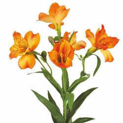 aslstromeria orange