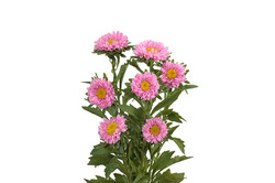 asters pink