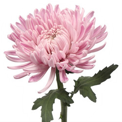 fuji mum pink
