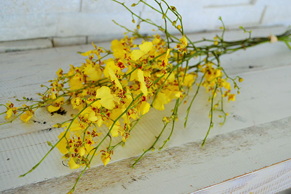 Orchid-oncidium yellow
