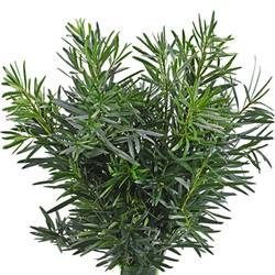 podocarpus flowers