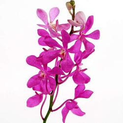 mokara orchids fuscia