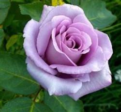 rose purple