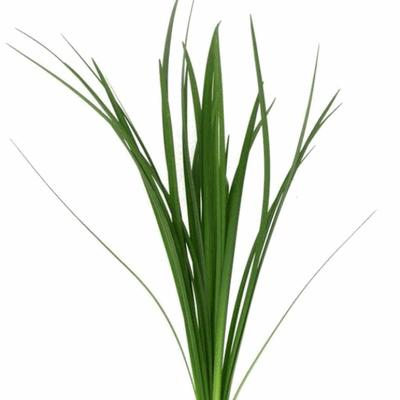 lily grass flowers