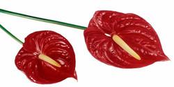 antherium red