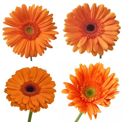 gerbers orange