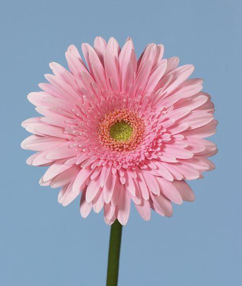 pink gerber flower