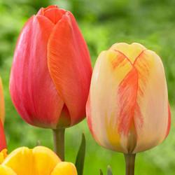 tulips orange