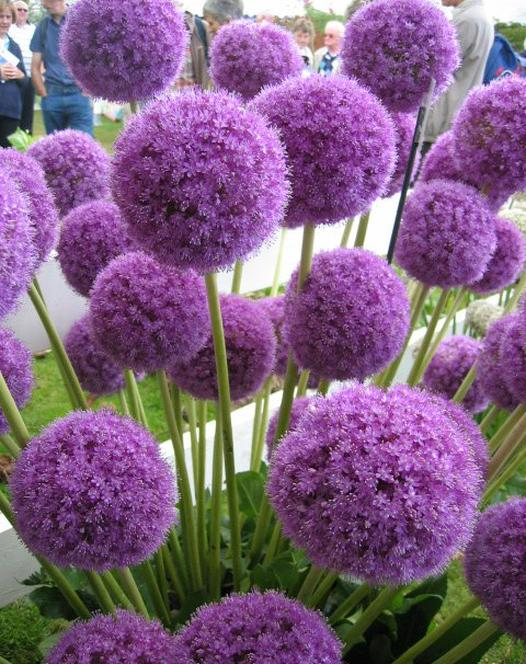 purple onion flower allium