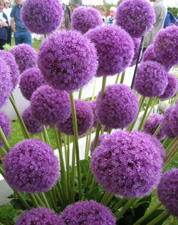 purple onion flower allium
