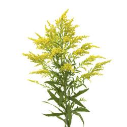 solidego yellow