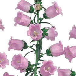 campanula pink