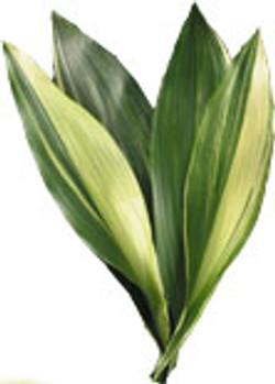 vergated aspadistra flower