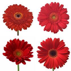 gerber red flower