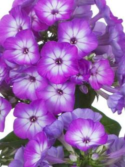 purple flowers phlox