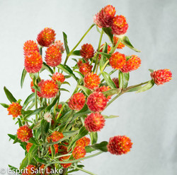 globe amaranth red
