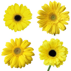 gerber yellow