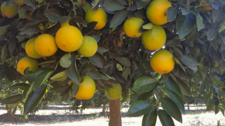 Citrus Trial in Marble Hall