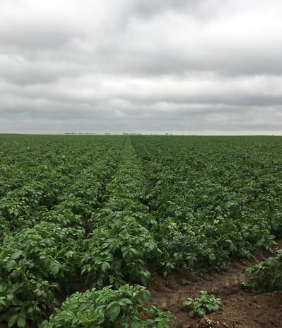 ICI potatoes.jpg