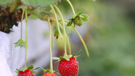 University Strawberry Trial