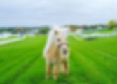Teddy the Shetland Pony