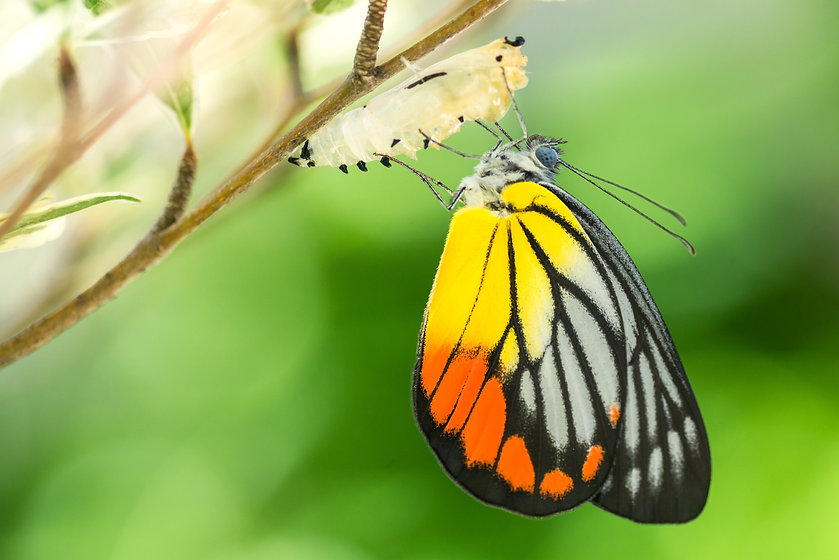 Beautiful butterfly emerges from a cocoo
