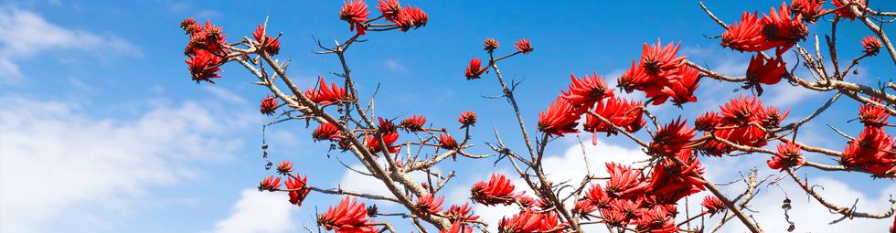 Our Coral Tree - Erythrina lysistemon