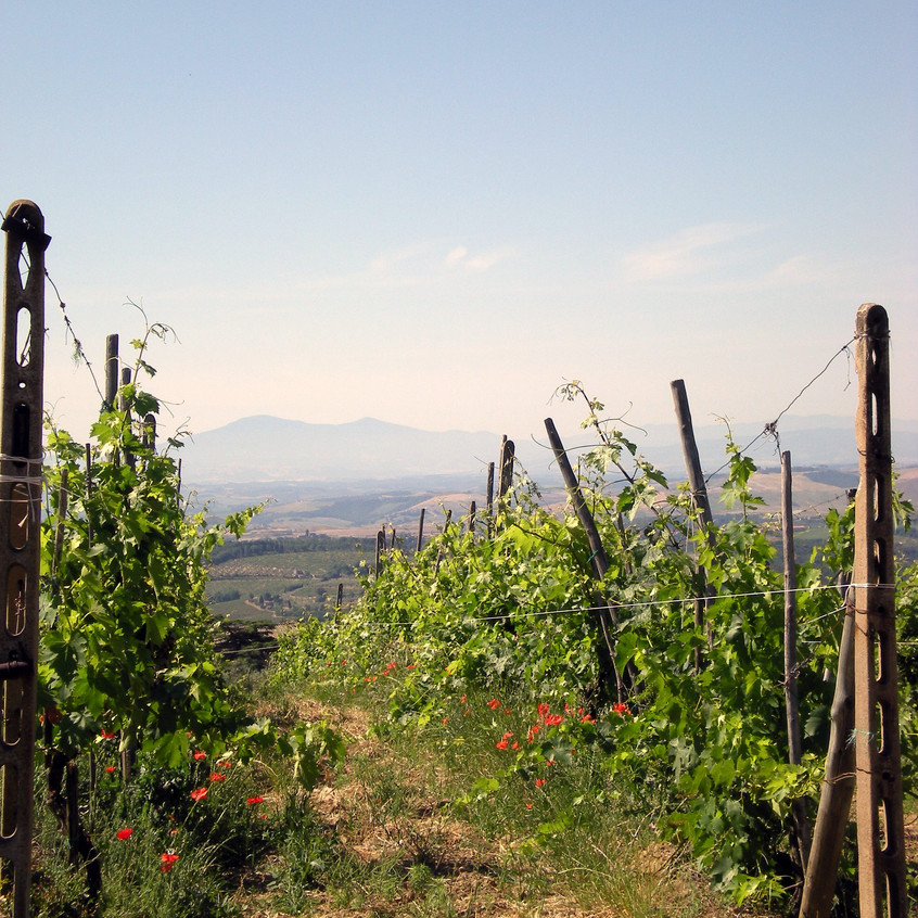 Vines with mountain view